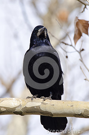 Rook on a branch