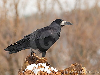 Rook  on a snowy log 4.