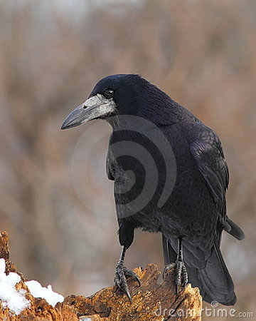 Rook  on a snowy stump 3.
