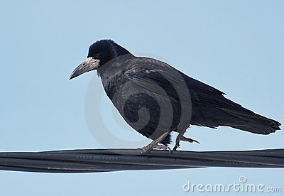 Rook on wire