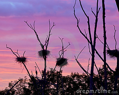 Rookery Heron Nests Set Against Early Morning Sky