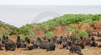 Rookery of young the Sea Bears