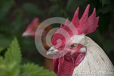 Rooster head with hen in background