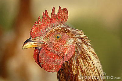 Rooster Head Shot
