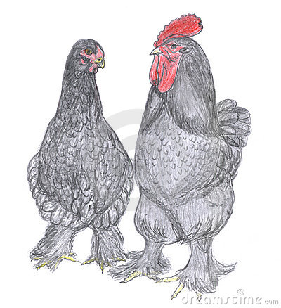 Rooster and hen, farm animal, sketch