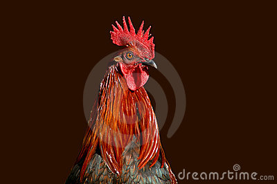 Rooster Profile 2