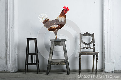 Rooster sitting on a chair