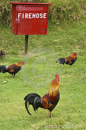 Roosters looking for fire