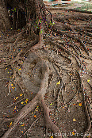Free Root Tree Royalty Free Stock Images - 14940759