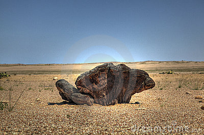 Root Of A Welwitschia Plant In Namibian Desert Royalty