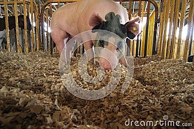 Rooting Hog