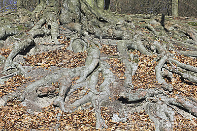Roots system of a beech