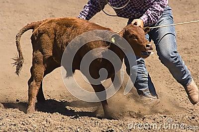 Roped calf