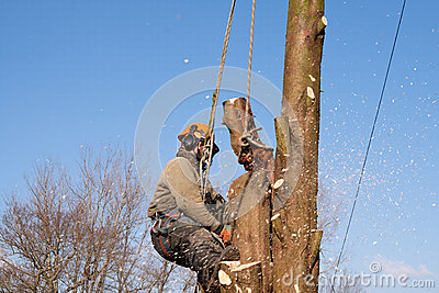 Ropes supporting man sawing tree