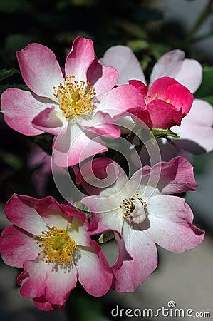 Free Rosa Ballerina Stock Photos - 1267713