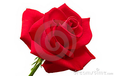 Rosa grande del rojo aislada