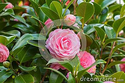 rosa kamelie sasanqua blume mit gr nen bl ttern stockfoto. Black Bedroom Furniture Sets. Home Design Ideas