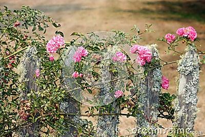 Staket staket rosor : Rosa Rosor PÃ¥ Ett Staket Arkivfoto - Bild: 42751762