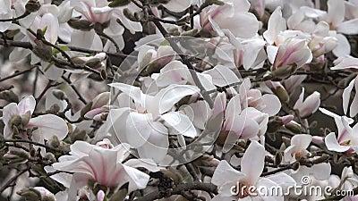 Rosa magnolior blomstrar beautifully