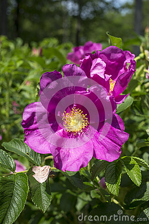 Free Rosa Rugosa Rose Bush Royalty Free Stock Photography - 31811067