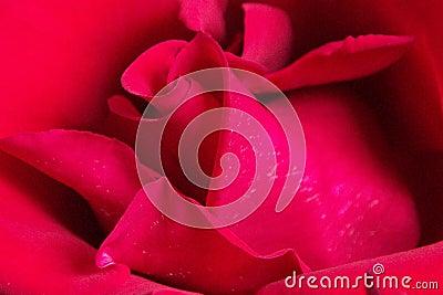 Rosa vermelha vermelha