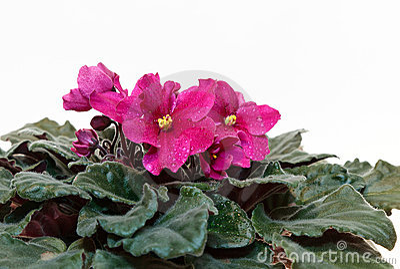 Rosa violet