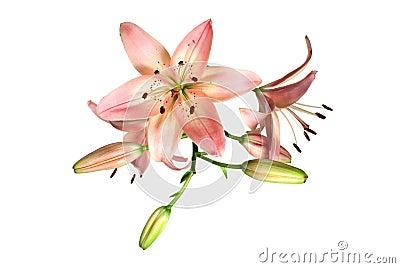 Rosafarbene Lilie auf Weiß