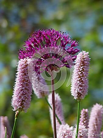 Rosafarbene und purpurrote Blumen