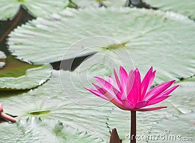 Rosafarbene Wasserlilie