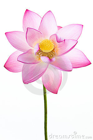 Rosafarbene Wasserlilienblume (Lotos) und weißes backgroun