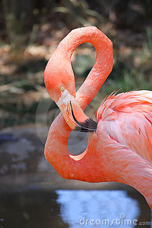 Rosafarbener Flamingo