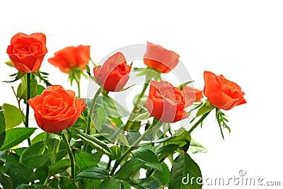 Rosas anaranjadas en blanco