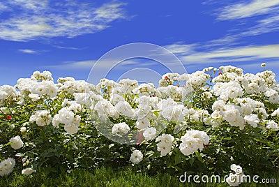 Rosas Blancas Y Cielo Azul Imagenes de archivo - Imagen: 2643124
