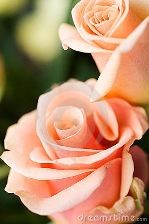 Rosas pálidas