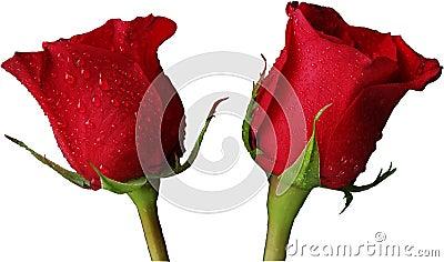 Rosas rojas aisladas