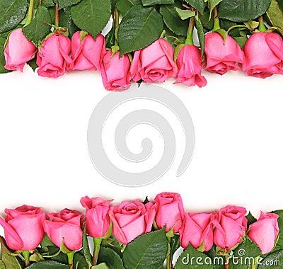 images of Fotografia De Archivo Rosas Rosadas Alineadas En Blanco