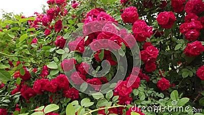 Rosas vermelhas bonitas no jardim para Valentine Day video estoque