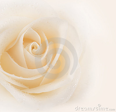 Free Rose Stock Images - 11109714