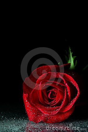 Free Rose Stock Photo - 12626380