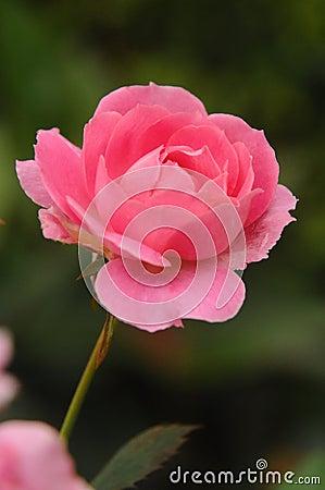 Free Rose Royalty Free Stock Photos - 13449738