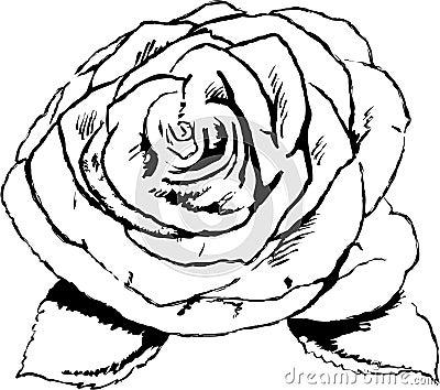 rose flower sketch. of a rose flower