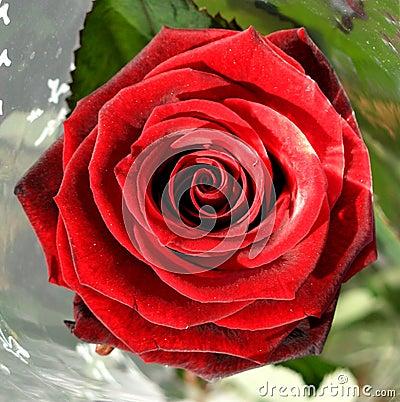 Rose......