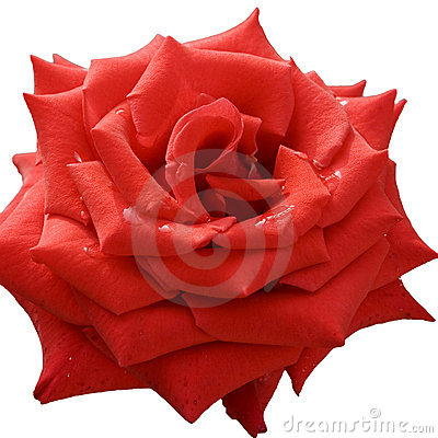 Free Rose Stock Photo - 14258820