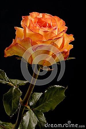 Free Rose Royalty Free Stock Image - 194596