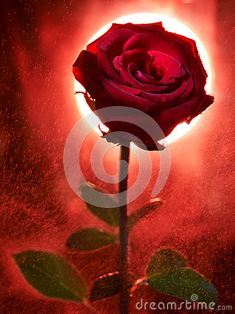 Rose Stock Images - Image: 28440564