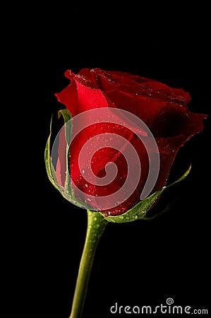 Free Rose Royalty Free Stock Photos - 3176348