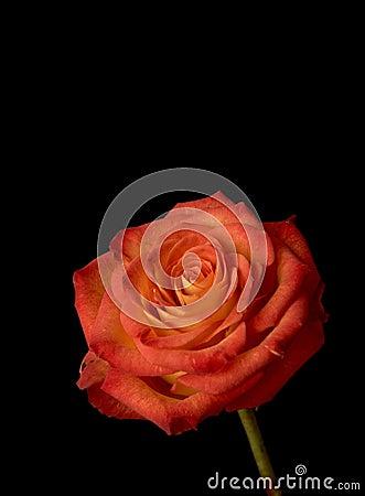 Free Rose Royalty Free Stock Image - 4977856