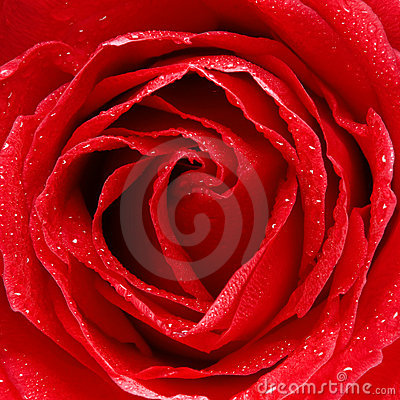 Free Rose Stock Photography - 7620442