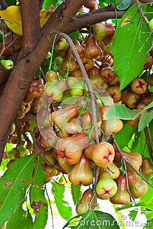 Free Rose-Apple Fruit Royalty Free Stock Image - 21524296