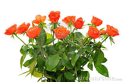Rose arancioni su bianco